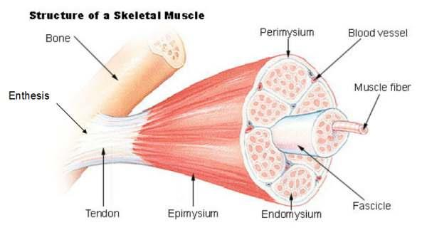 enthesis organ anatomy Normal anatomy where tendon joins the bone there is a combination of tissues called an enthesis organ enthesis organ composed of bursa, fibrocartilage, tendon, mineralised fibrocartilage.