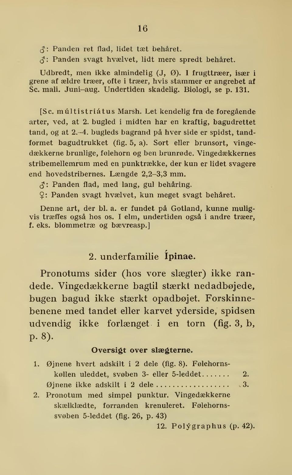Let kendelig fra de foregående arter, ved, at 2. bugled i midten har en kraftig, bagudrettet tand, og at 2.-4. bugleds bagrand på hver side er spidst, tandformet bagudtrukket (fig. 5, a).