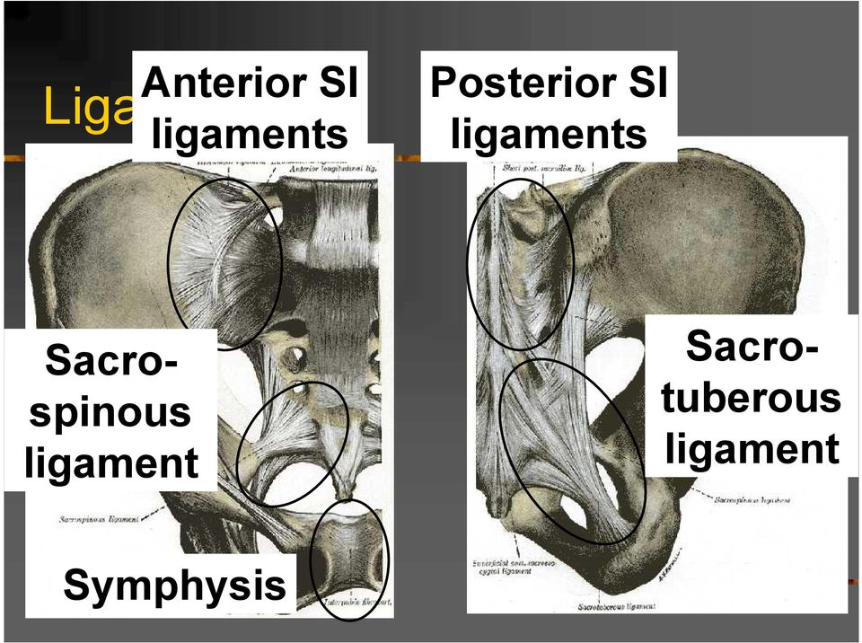 ligaments tuberous