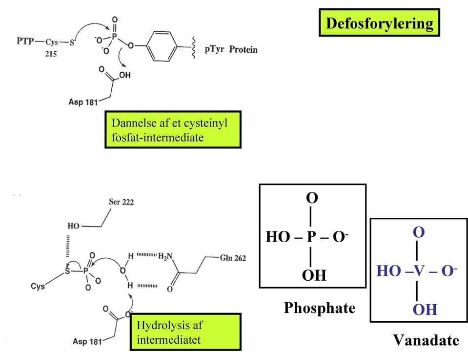 Hydrolysis af intermediatet HO P