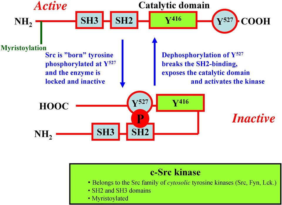 catalytic domain locked and inactive and activates the kinase HOOC Y 527 P NH 2 SH3 SH2 Y 416 Inactive