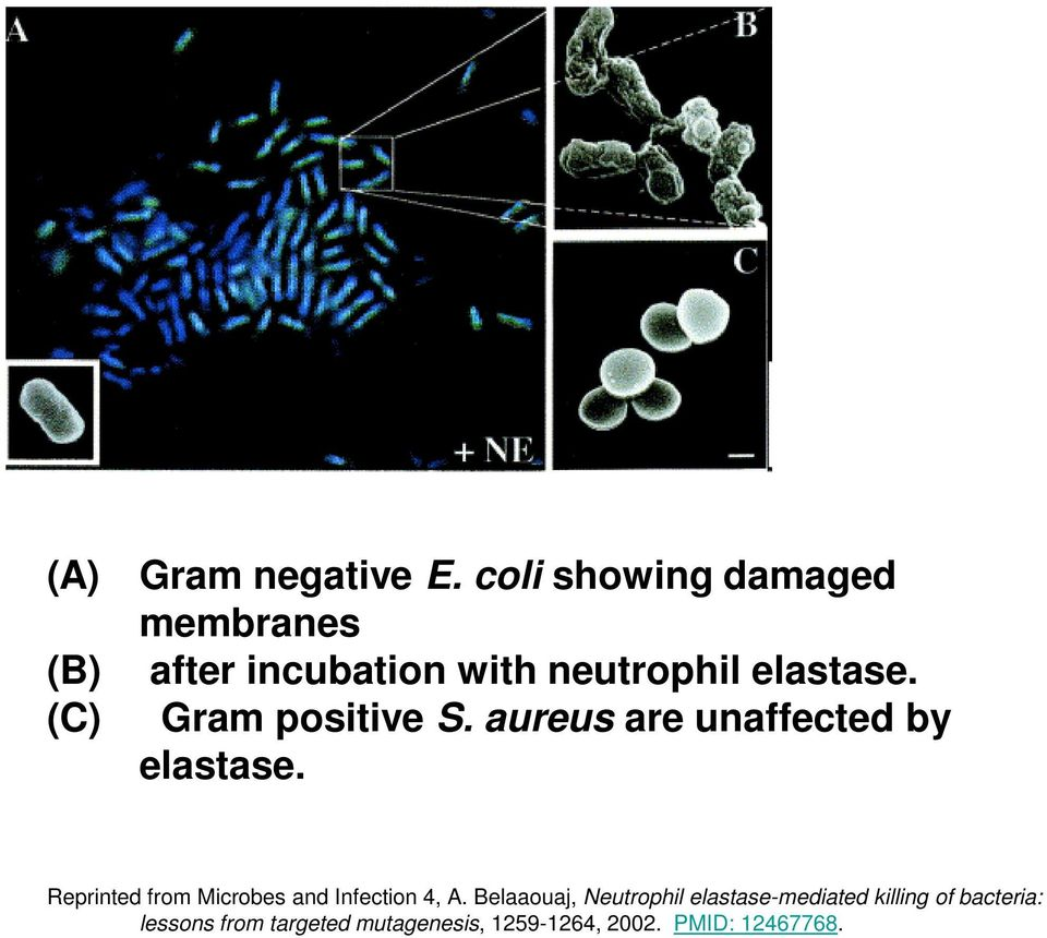 Gram positive S. aureus are unaffected by elastase.