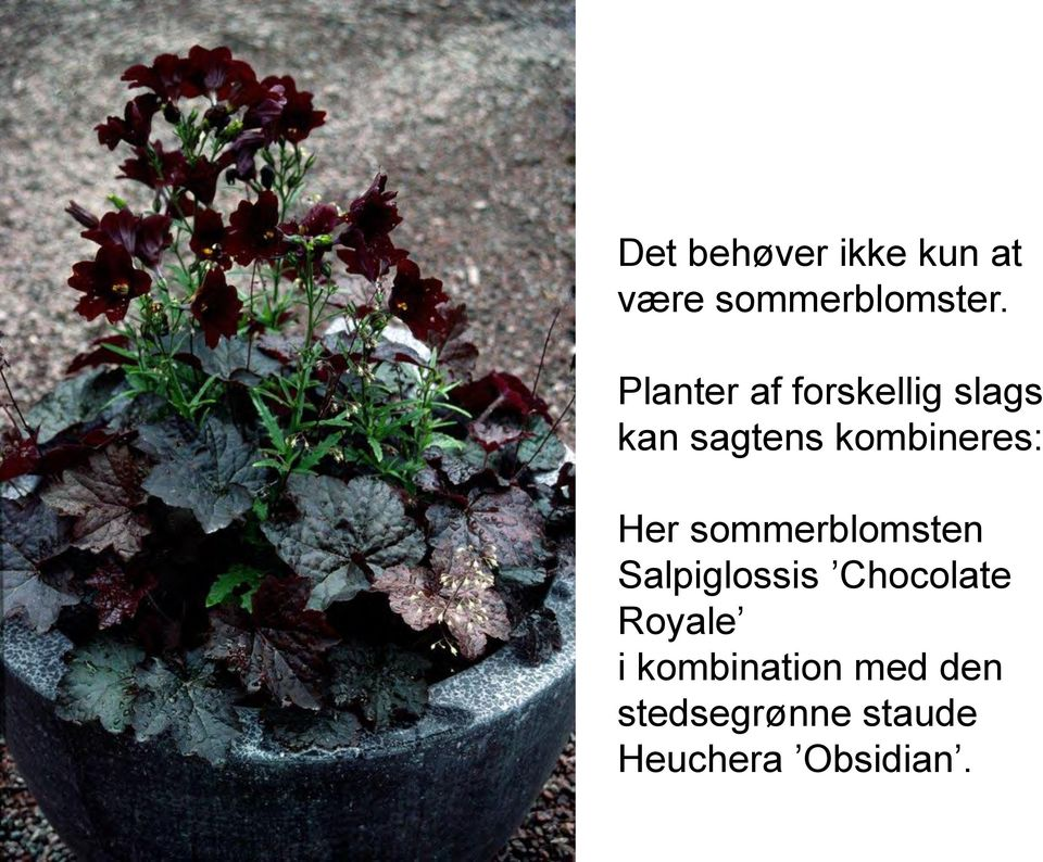 Her sommerblomsten Salpiglossis Chocolate Royale i