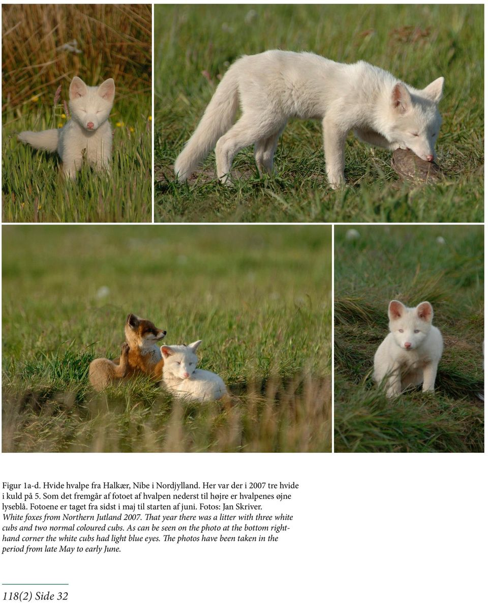 Fotos: Jan Skrver. Whte foxes from orthern Jutland 2007.