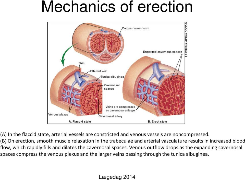 (B)On erection, smooth muscle relaxation in the trabeculaeand arterial vasculature results in increased