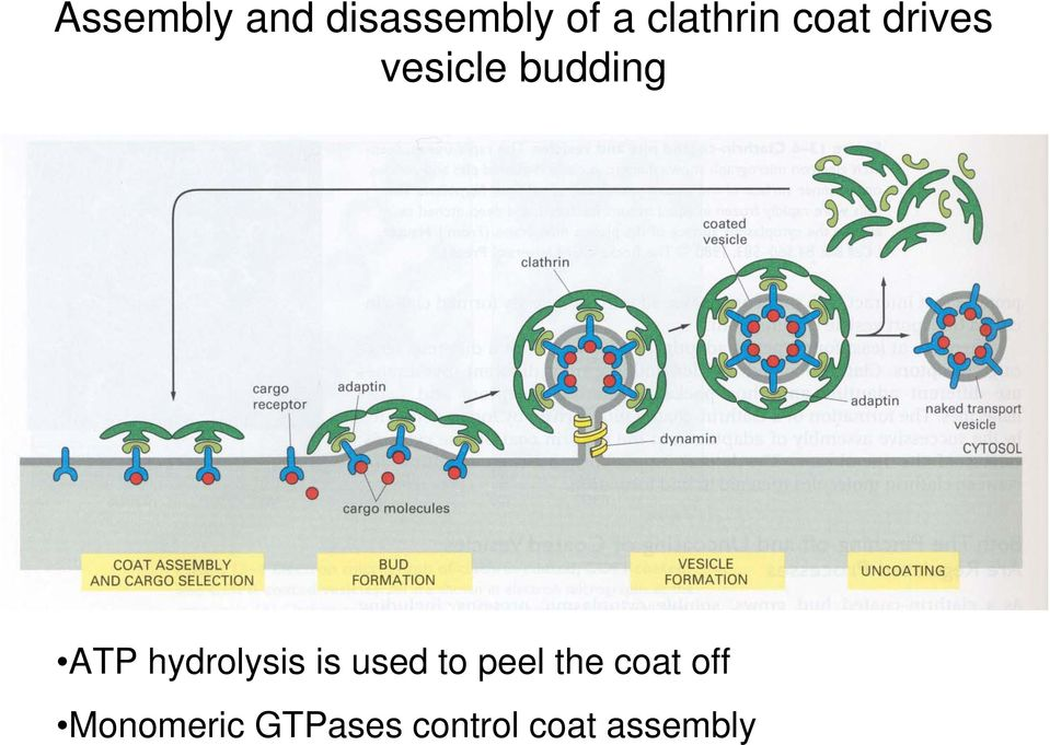 ATP hydrolysis is used to peel the
