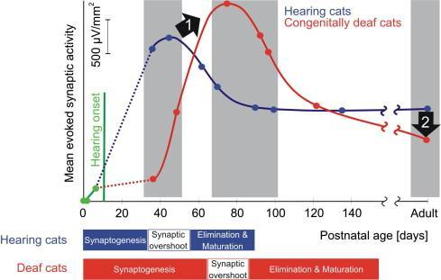 Developmental changes in synaptic activity in the auditory cortex of cats evoked by stimulation through a cochlear implant in hearing controls (blue) and congenitally deaf (red) animals.